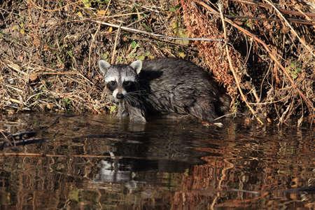 Common Raccoon in New Mexico, USA Stock Photo