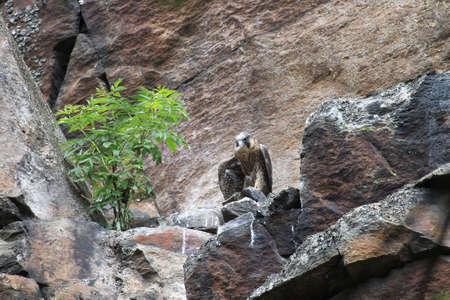 young peregrine falcon (Falco peregrinus) Saxony Germany Stock Photo