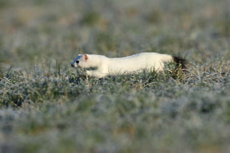 stoat (Mustela erminea), short-tailed weasel in the winter