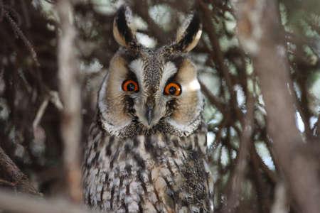 long-eared owl (Asio otus) Zdjęcie Seryjne