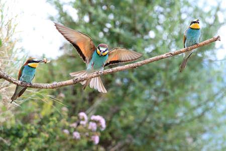 European bee-eater Baden Wuerttemberg