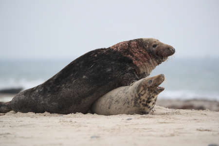 Gray Seal (Halichoerus grypus) Male and female mating on beach island Helgoland Germany
