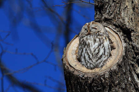 Tawny owl or brown owl (Strix aluco) in a hollow tree stump Germany