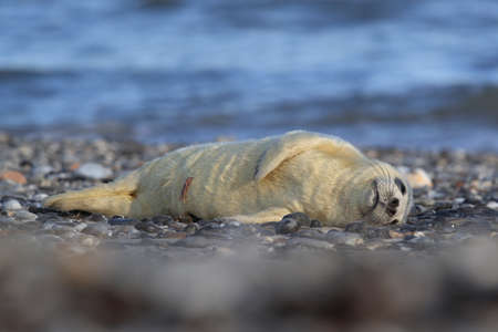 Gray Seal (Halichoerus grypus) Pup, in the natural habitat, Helgoland Germany