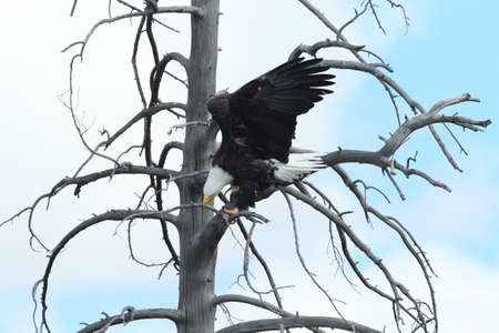 Bald Eagle perched in tree, Yellowstone NP