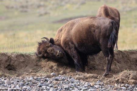 American bison, Buffalo, Yellowstone National Park