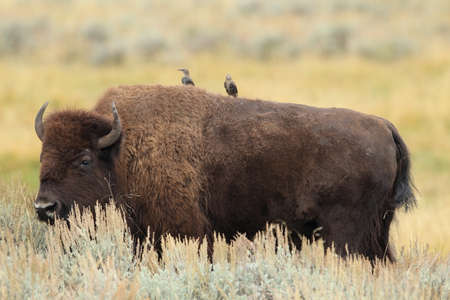 American bison, Buffalo, Yellowstone National Park