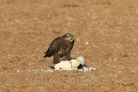 young bald eagle eats snow goose Bosque del Apache National Wildlife Refuge New Mexico