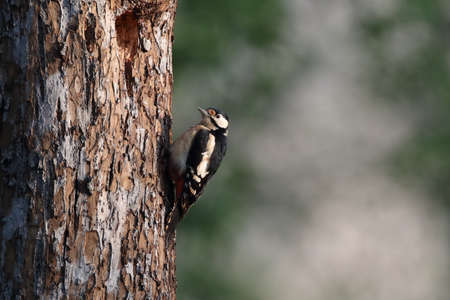 Great Spotted Woodpecker (Dendrocopos major) Germany Banque d'images