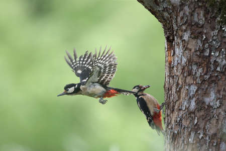 Great Spotted Woodpecker (Dendrocopos major) Germany