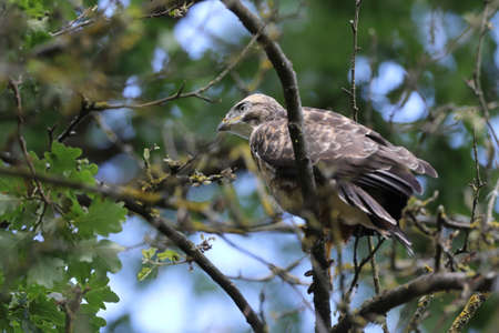 young buzzard common buzzard (Buteo buteo) Stock Photo