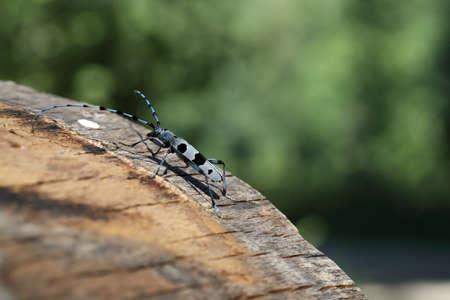 Rosalia longicorn (Rosalia alpina) or Alpine longhorn beetle Swabian Jura Germany 版權商用圖片