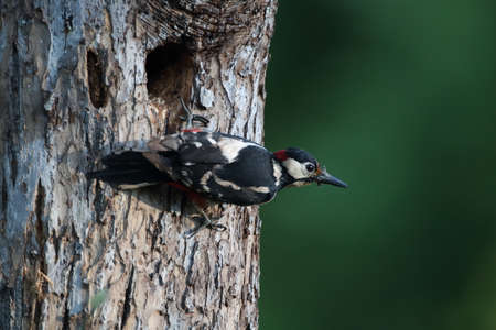 Great Spotted Woodpecker (Dendrocopos major) Germany Stockfoto