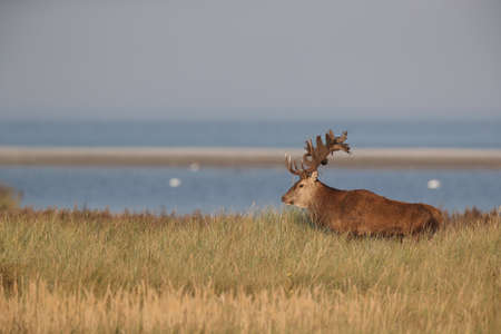 Red Deer (Cervus elaphus) Western Pomerania Lagoon Area National Park Germany