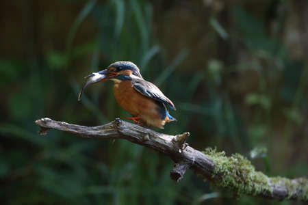 Common Kingfisher (Alcedo atthis), Eurasian kingfisher Stockfoto