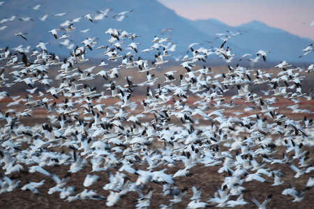 Snow geese Bosque del Apache, New Mexico