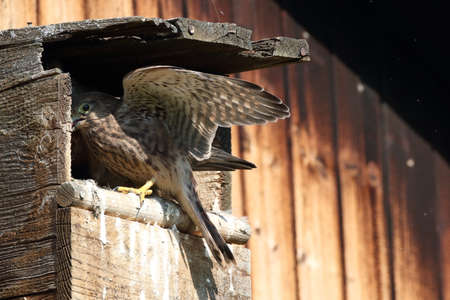 common kestrel (Falco tinnunculus) young birds at the nest box Germany Stockfoto