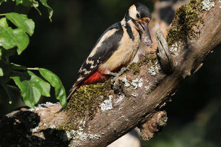 Great Spotted Woodpecker (Dendrocopos major) Stockfoto