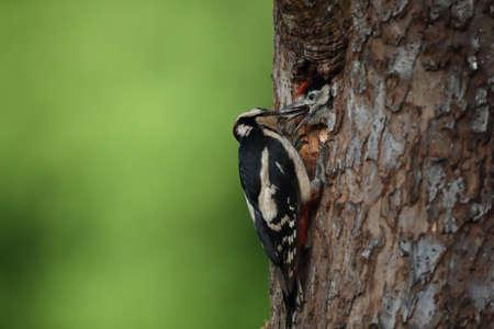 Great Spotted Woodpecker (Dendrocopos major) 免版税图像