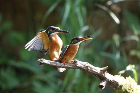 Common Kingfisher (Alcedo atthis), Eurasian kingfisher 免版税图像