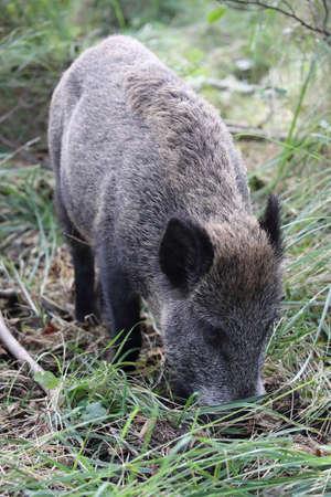 Wild Boar (Sus scrofa) Western Pomerania Lagoon Area National Park Germany