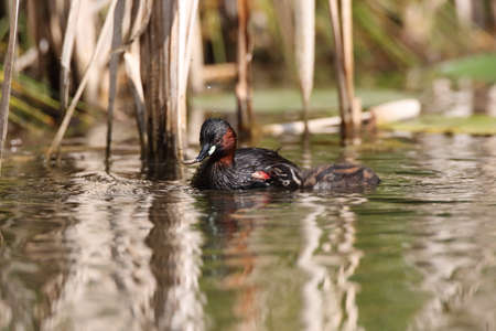 Little Grebe (Tachybaptus ruficollis) and chick