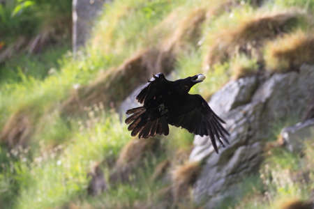 common raven with stolen egg Norway