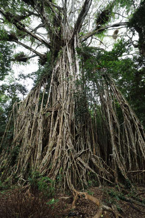 Looking up the giant Cathedral Fig Tree on the Atherton Tablelands, Australia Stockfoto