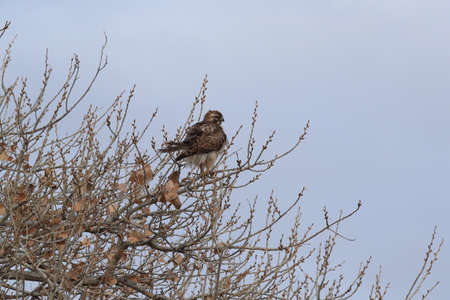 Red-tailed Hawk (Buteo jamaicensis) - Bosque del Apache National Wildlife Refuge, New Mexico, USA