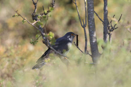 common cuckoo (Cuculus canorus) Sweden