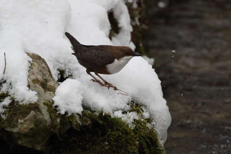 white-throated dipper in the winter germany Stockfoto