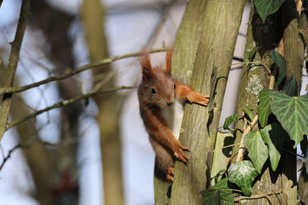 Eurasian red squirrel (Sciurus vulgaris) Germany
