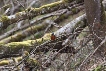 Common Kingfisher (Alcedo atthis) Swabian Alps Germany