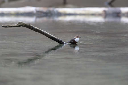 white-throated dipper Swabian Alps Germany