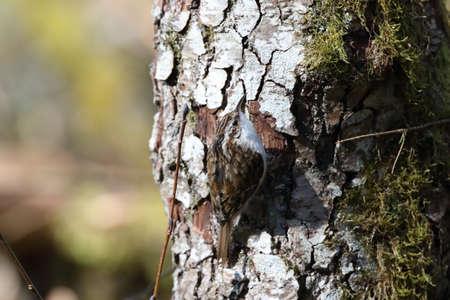 Eurasian treecreeper or common treecreeper (Certhia familiaris) Germany