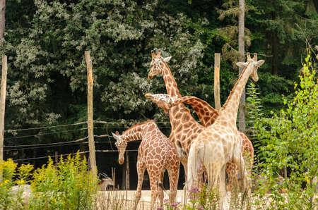 playful behaviour: Group of four giraffe showing playful behaviour  Stock Photo