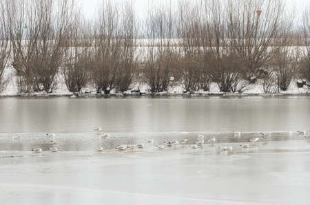 thawed: Large group of gulls gathered together on a thawed section of a frozen river Stock Photo