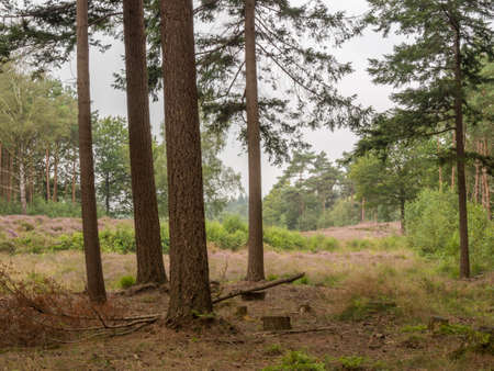 heathland: Looking from the forest past some trees at dutch heathland