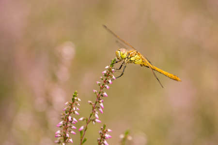 sympetrum: Moustached Darter on heather in bloom (Sympetrum vulgatum)