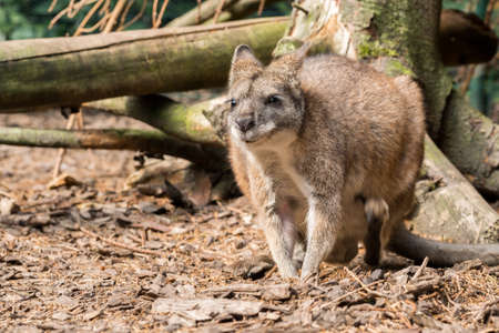 medium size: Small red necked wallaby in forest