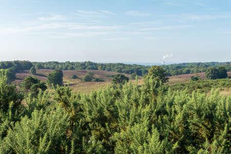 veluwe: Looking out over gorse bushes onto dutch heathland