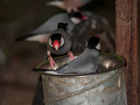 Playful Java rice birds grabbing food from a metal bucket photo