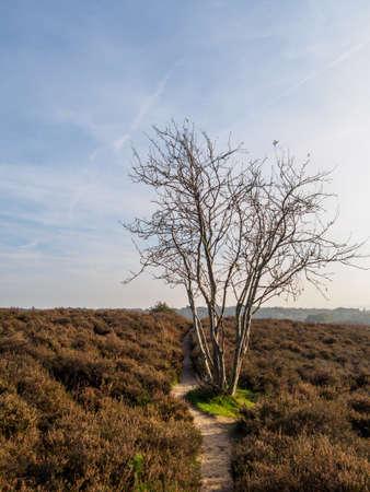 heathland: Lone tree on sandy path in heathland area in fall colors