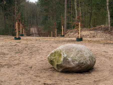 planted: A large rock on a hill in the forest with a path surrounded by newly planted trees leading away into the distance.