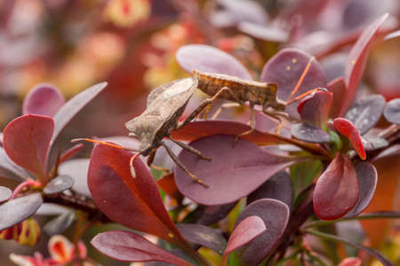 red bush: Two small brown bugs resting on a red bush Stock Photo