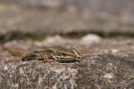 zootoca: Zootoca vivipara, viviparous lizard closeup