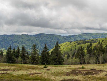 pine trees: Dark grey clouds overlook the pine trees in the Vosges hills France