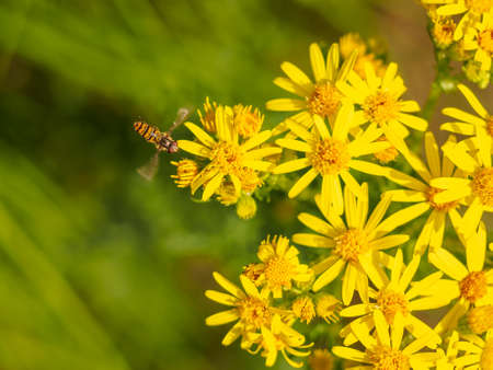 arrives: Hoverfly arrives at a group of wild yellow flowers Stock Photo