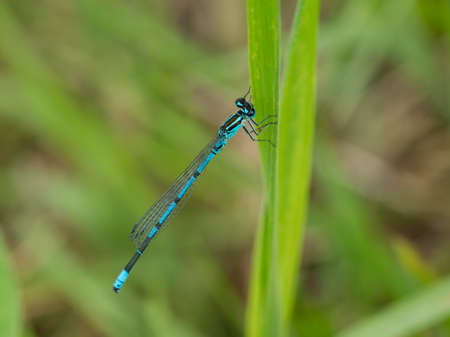 damselfly: Closeup of a blue damselfly on side of grass