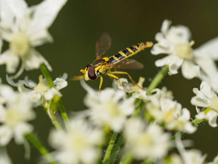 hover: Closeup of a small hover fly resting on white flowers Stock Photo